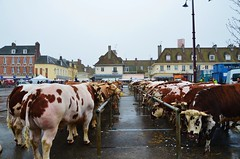 Yvetot, F-76 (isamiga76) Tags: france cows normandie normandy vaches yvetot