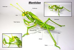 Praying Mantis (Mantidae) (Siercon and Coral) Tags: butterfly bug insect spider lego moth bugs collection hornet millipede stickbug creepycrawly prayignmantis battlebugs