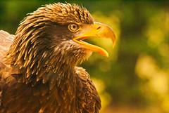 Eagle (Nick Biswell) Tags: eagle bald shuttleworth birdofprey birdofpreycentre