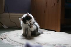 Lucy as a Kitten 3 (comedy_nose) Tags: kitten cuteness lucythecat