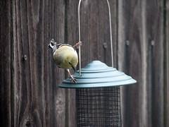 (franciskato) Tags: goldfinch feedingthebirds backyardbirdwatching birdsatthefeeder atthebirdfeeder winterbirding winteringbirds winterbirdwatching