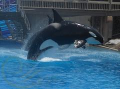 Corky (GypsySkye7) Tags: sandiego orca corky seaworld killerwhale captivity oneocean