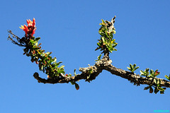 OcotilloBloom (mcshots) Tags: travel winter cactus sky nature mexico flora driving desert offroad stock bajacalifornia baja mcshots succulents planrs