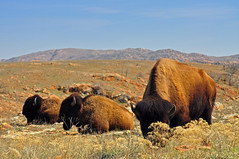 Buffalo Herd (BlakeLewisPhotography) Tags: blue sky mountain mountains green oklahoma beautiful beauty yellow rock landscape big buffalo ancient rocks wildlife awesome blues elk bison wichita herd lizzard grazing refuge