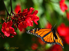 Monarch in Flight 2 - Ka'anapali, Maui (Barra1man (busy in garden - catching Up)) Tags: red flower butterfly garden insect island hawaii flying paradise butterflies olympus maui monarch tropical regal kaanapali tropicalflower monarchbutterfly olympusdigitalcamera rosefloweredjatropha mygearandme photographyforrecreation