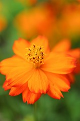 ♠  Forever Is Our Today  ♠ (Anna Kwa) Tags: flowers macro art nature singapore marigolds tageteserecta 万寿菊 flowerdome gardenbythebay