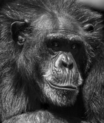 ape (psyberartist) Tags: portrait face animal tampa zoo ape monkeys primate lowryparkzoo