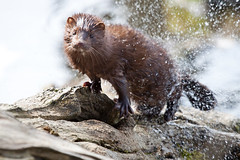 The shake off (ArmanWerthPhotography) Tags: wild wildlife mink pdx crystalspringsrhododendrongarden