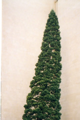 img273 (Osyam-osyam) Tags: plant color tree green film nature wall evergreen cypress botany juniper