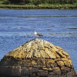 "Gull at Clifden Harbour <a style=""margin-left:10px; font-size:0.8em;"" href=""http://www.flickr.com/photos/89335711@N00/8595606305/"" target=""_blank"">@flickr</a>"