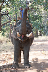 Bandhavgarh-9934.jpg (jc_on_vacation) Tags: india animals asia places elephants gotham mammals bandhavgarh domesticelephants animalsbyname