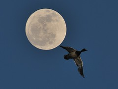 March Full Moon, and a Mallard......Explored (l_dewitt) Tags: march duck waterfoul overlay mallard marchfullmoon overlayimages waterfoulimages fullmoonimagesfullmoon