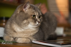 IMG_4520 xb (InsaneAnni) Tags: animal cat hair photography grey grau short katze tier haar britisch kurz bkh britsh