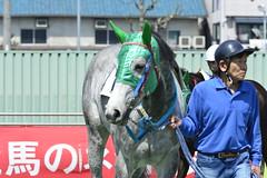 20130405-_DSC5445 (Fomal Haut) Tags: horse japan nikon nagoya 80400mm d4   14teleconverter  d800e