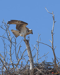 Osprey on Nest Tree (DRB159) (Gerry Gantt Photography) Tags: usa bird nature virginia raptor osprey woodbridge naturephotography naturephoto occoquanbaynwr slbnesting occoquanbaynwrwoodbridge