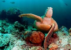Give a turtle a tickle. (in Explore) (gillybooze (David)) Tags: mar turtle explore malaysia sipadan ©allrightsreserved madaleundewaterimages allnaturesparadise vigilantphotographersunite vpu2 vpu3 vpu4 vpu5 vpu6 vpu7 vpu8 vpu9 vpu10