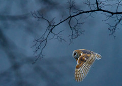 Night-owl_9799 (Peter Warne-Epping Forest) Tags: uk ngc essex epping barnowl tytoalba springwatch