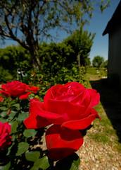 Mignonne, allons voir si la Rose... (Korz 19) Tags: red france flower nature fleur rose rouge nikon bokeh d200