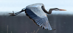 Heron in Flight (ToddP99z) Tags: nature ma bedford massachusetts concord greatblueheron ardeaherodias greatmeadows