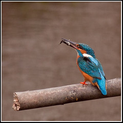 Common Kingfisher (seph.photography) Tags: fish with beak kingfisher his stick perched common alcedo atthis