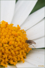 084/365: continuar... (CUraba) Tags: macro fly 365 mosca 365the2013edition