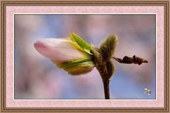 Birth Of A Magnolia Blossom (Vidterry) Tags: iso800 magnolia magnoliabud nikkor105mmmicro ev23 nikond7000 rememberthatmomentlevel1 rememberthatmomentlevel2 11600thf10 vigilantphotographersunite vpu2 vpu3 vpu4