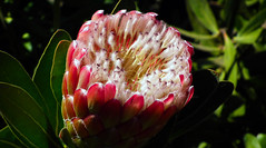 """Protea """"Pink Ice"""" (alsimages1 - Thank you for 860.000 PAGE VIEWS) Tags: flowers gardens botanical exotic madeira rare protea"""