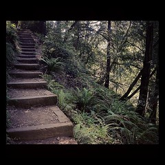Muir Woods (SteveLyArt) Tags: sanfrancisco trees green nature stairs forest square woods san francisco steps squareformat sanfranciscobayarea muir iphoneography instagram instagramapp