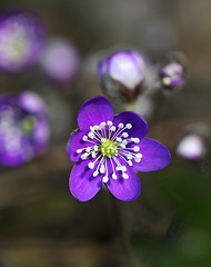 Anemone hepatica - First of the spring (pirjolam) Tags: spring kevt sinivuokko anemonehepatica