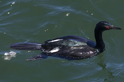 Pelagic Cormorant just pooped