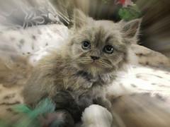 PhotoCat (paulosba) Tags: pet cats pets cat kitten feline fuzzy kittens boris felino felines