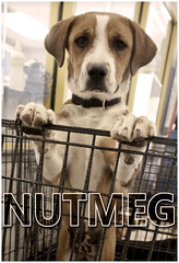 Nutmeg Standing (Immature Animals) Tags: arizona rescue baby animal lab labrador tucson hound az center pima bark care nutmeg koalition pacc backpacc