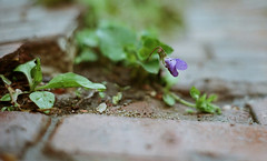 At the margin: alley flower (johnmcochran2012) Tags: city urban flower macro dc washington alley pentax takumar kodak bricks 55mm 400 spotmatic portra hilleast freedomway