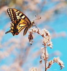 Papilio Machaon (Macan). (Marcel94.) Tags: butterfly marcel olympus micro mariposa omd papallona m43 mft papiliomachaon em5 mirrorless lecram microfourthirds zuiko40150r marcelpuigipratdepdua marcelpuig