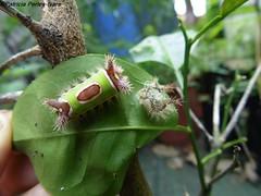 Acharia sp. (.:PaTrI:.) Tags: lepidoptera acharia polilla moth biodiversity costarica biodiversidad lumix panasonic heredia belen