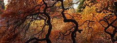 a Threadleaf Maple Tree (Harry Lipson) Tags: tangles tangled orange yellow inner inside tree arbor arboreal branch branches twisted harrylipson harrylipsoniii nature trees threadleafmaple