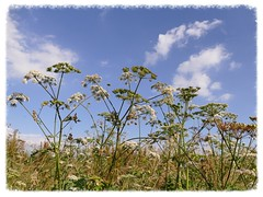 Flower of the month - cow parsley (Englepip) Tags: sky cloud cowparsley plant white flower stem outdoor countryside