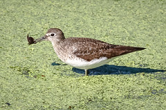 Solitary Sandpiper (tresed47) Tags: 2016 201608aug 20160822johnheinzbirds birds canon7d content folder johnheinznwr pennsylvania peterscamera petersphotos philadelphia places sandpiper solitarysandpiper takenby us waders