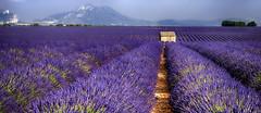 Le Cabanon........ (Malain17) Tags: lavender panorama paysage landscape sillons provence france photography photographers pentax image colors sky montagnes fleurs fields