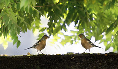 Chaffinches meeting in the morning sun (hardy-gjK) Tags: bird nature wildlife nikon light morning animals twin photoshop