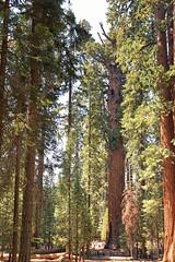 General Sherman-1 (johnaalex) Tags: d810 sequoia california usa america tree redwood nikkor1635mmf4gedvr