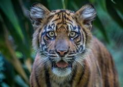Debbie (ToddLahman) Tags: debbie joanne teddy sandiegozoosafaripark safaripark babysumatrantiger sumatrantiger tigers tiger tigertrail tigercub escondido flickrexplore explore inexplore