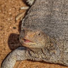 #مساء_الخير  #ضب #لحظة #بورتريه  #بر #صحاري #الضب #سحلية #سحالي #زواحف #مكشات #كشته #sonyalpha #goodevening #السعودية  #تصويري  #صورة #photo #دينصور #دينصورات #Lizard #lizards #reptiles #dinosaur #dinosaurs #animal #animals #حيوانات #حيوان (photography AbdullahAlSaeed) Tags: goodevening مكشات كشته dinosaurs بورتريه مساءالخير بر reptiles سحالي animal ضب lizard lizards حيوانات دينصورات سحلية dinosaur السعودية زواحف صورة دينصور تصويري الضب لحظة photo sonyalpha animals حيوان صحاري