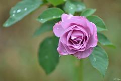 """After the long-awaited rain"" (Svetty2) Tags: flowers roses rosemoodyblue rain waterdrops"