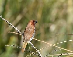 Scaly-breasted Munia (C-O) Tags: aug 19028 arboretum birds scalybreasted munia finch nature arcadia ca