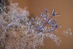 Everlasting (Iulian Dumitru) Tags: stilllife driedflower everlasting thorns arrangement blue brown thistle