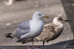 Goeland argent - Seagull (dom67150) Tags: bretagne goelandargent seagull europeanherringgull larusargentatus oiseau bird finistre saintgunol juvnile
