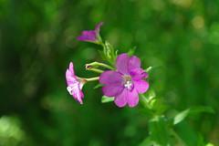 SAM_0673 (Duncan.B) Tags: flora flowers wwtbarnes samsungnx samsung nx10