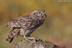 """Guardinga"" (Simone Mazzoccoli) Tags: nature wildlife photography"