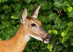 Doe-closeup72-23a (sknight56) Tags: deer doe eating wildlife bloomington minnesota canon
